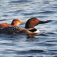 Pair of loons swimming.