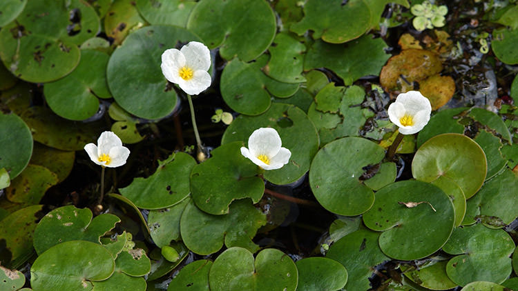 Invasive frogbit